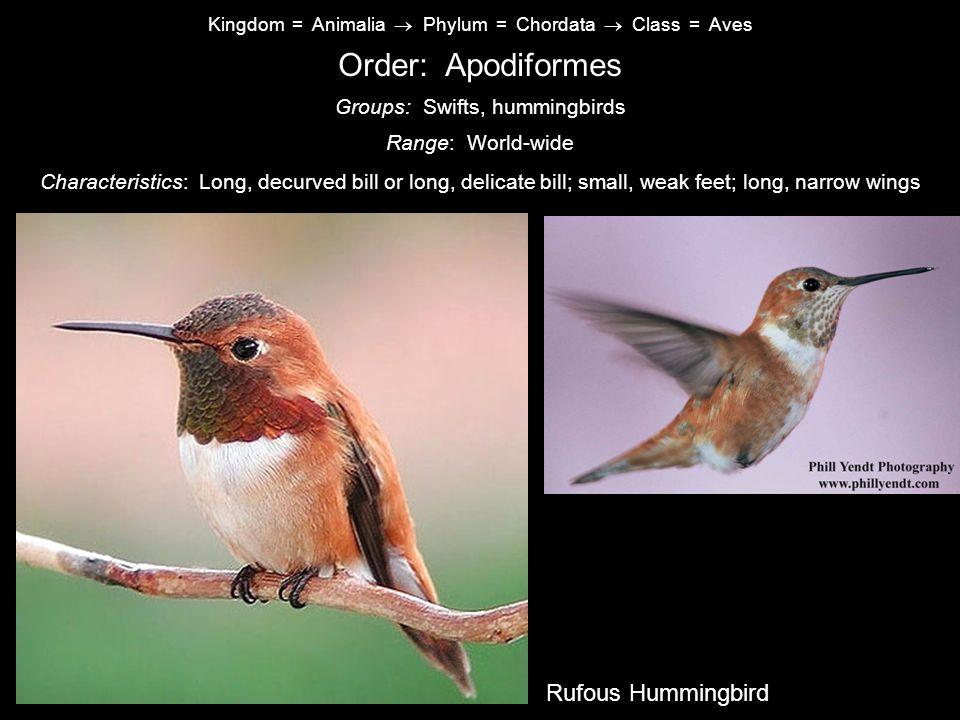 Kingdom = Animalia  Phylum = Chordata  Class = Aves Order: Apodiformes Characteristics: Long, decurved bill or long, delicate bill; small, weak feet; long, narrow wings Range: World-wide Groups: Swifts, hummingbirds Common Nighthawk Rufous Hummingbird
