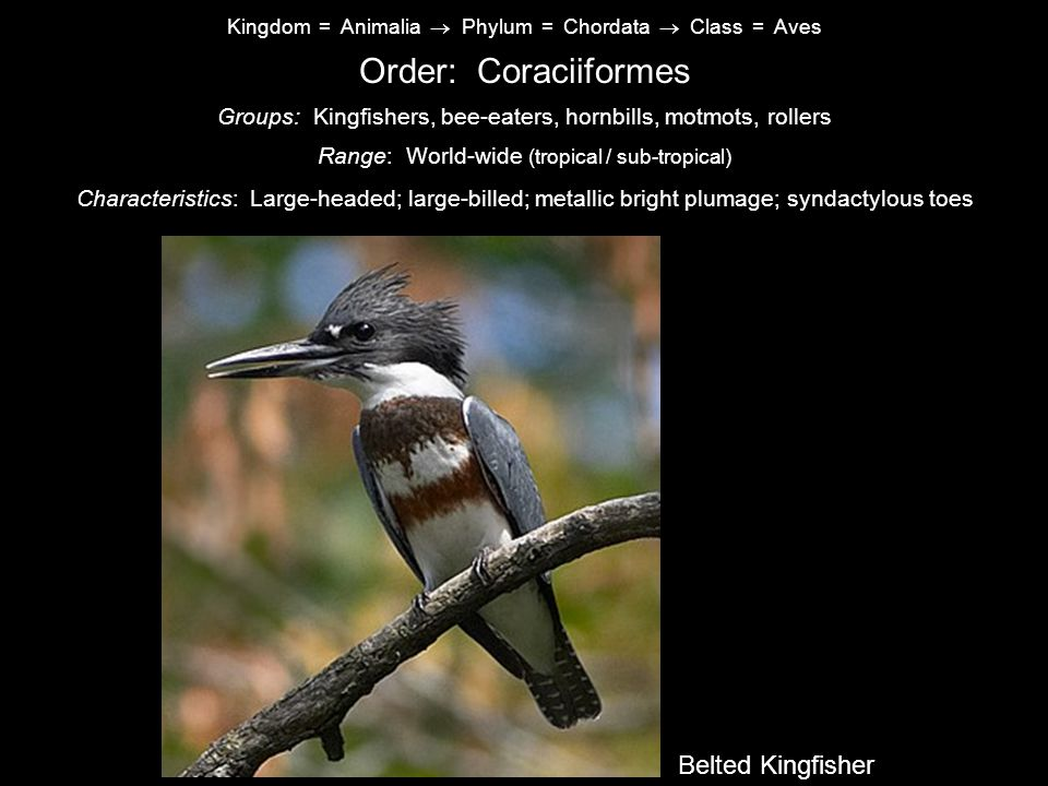 Kingdom = Animalia  Phylum = Chordata  Class = Aves Order: Coraciiformes Characteristics: Large-headed; large-billed; metallic bright plumage; syndactylous toes Range: World-wide (tropical / sub-tropical) Groups: Kingfishers, bee-eaters, hornbills, motmots, rollers Common Nighthawk Belted Kingfisher