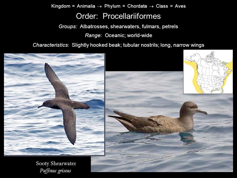 Kingdom = Animalia  Phylum = Chordata  Class = Aves Order: Procellariiformes Characteristics: Slightly hooked beak; tubular nostrils; long, narrow wings Range: Oceanic; world-wide Groups: Albatrosses, shearwaters, fulmars, petrels Sooty Shearwater Puffinus griseus