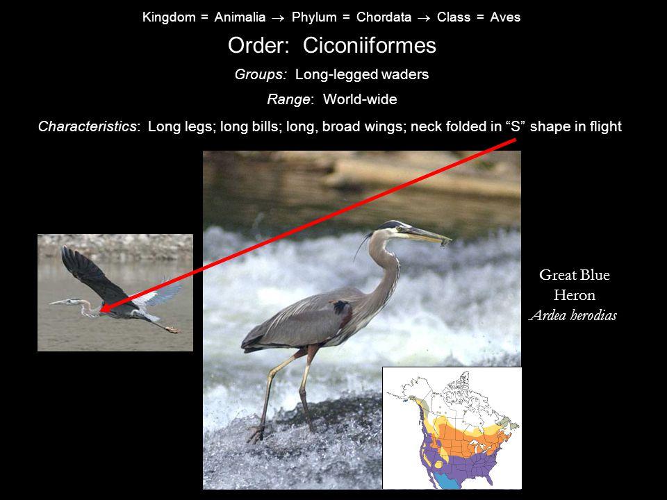 Kingdom = Animalia  Phylum = Chordata  Class = Aves Order: Ciconiiformes Characteristics: Long legs; long bills; long, broad wings; neck folded in S shape in flight Range: World-wide Groups: Long-legged waders Great Blue Heron Ardea herodias