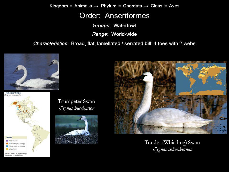 Kingdom = Animalia  Phylum = Chordata  Class = Aves Order: Anseriformes Characteristics: Broad, flat, lamellated / serrated bill; 4 toes with 2 webs Groups: Waterfowl Range: World-wide Trumpeter Swan Cygnus buccinator Tundra (Whistling) Swan Cygnus columbianus