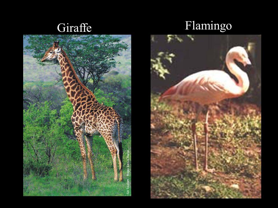Giraffe Flamingo