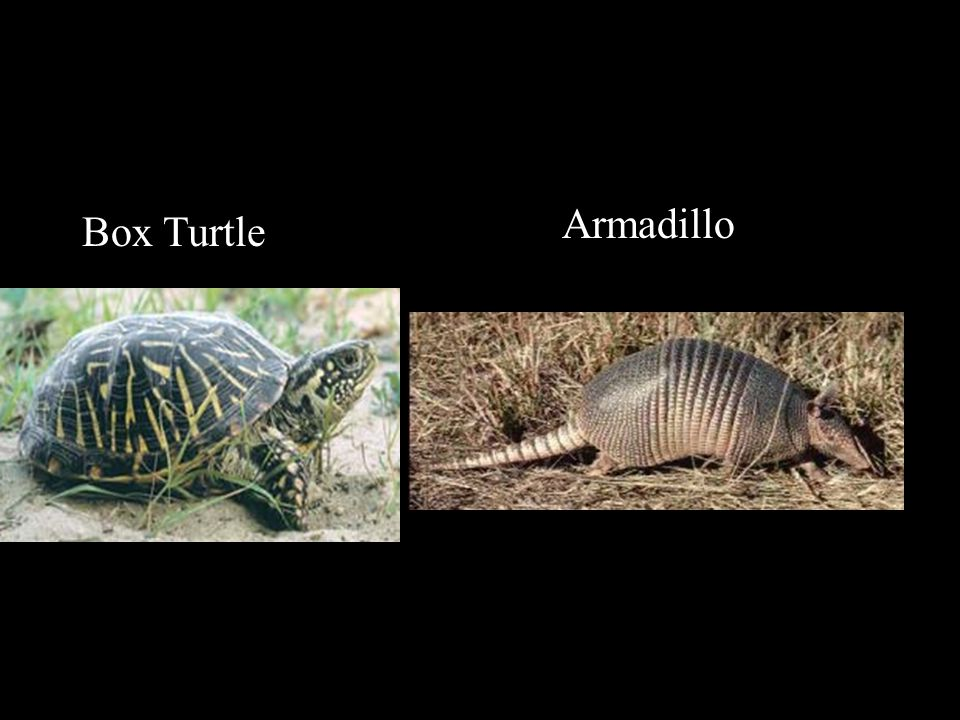 Box Turtle Armadillo