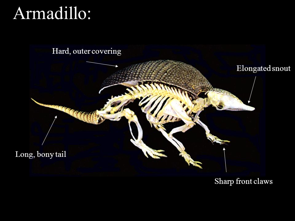 Armadillo: Sharp front claws Elongated snout Hard, outer covering Long, bony tail Armadillo Skeleton