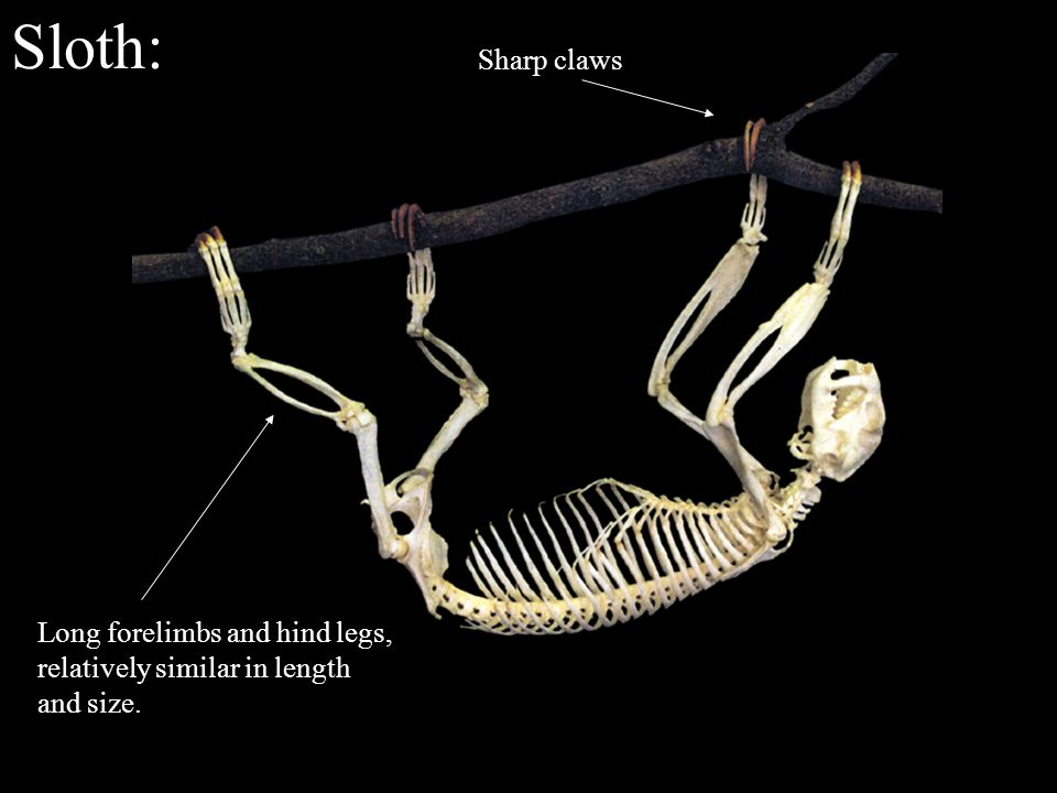 Sloth: Sharp claws Long forelimbs and hind legs, relatively similar in length and size.