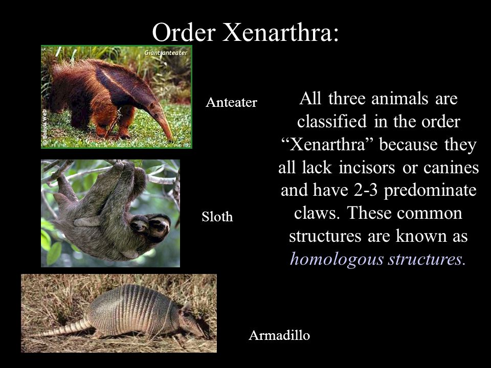 "Order Xenarthra: Armadillo Sloth Anteater All three animals are classified in the order ""Xenarthra"" because they all lack incisors or canines and have"