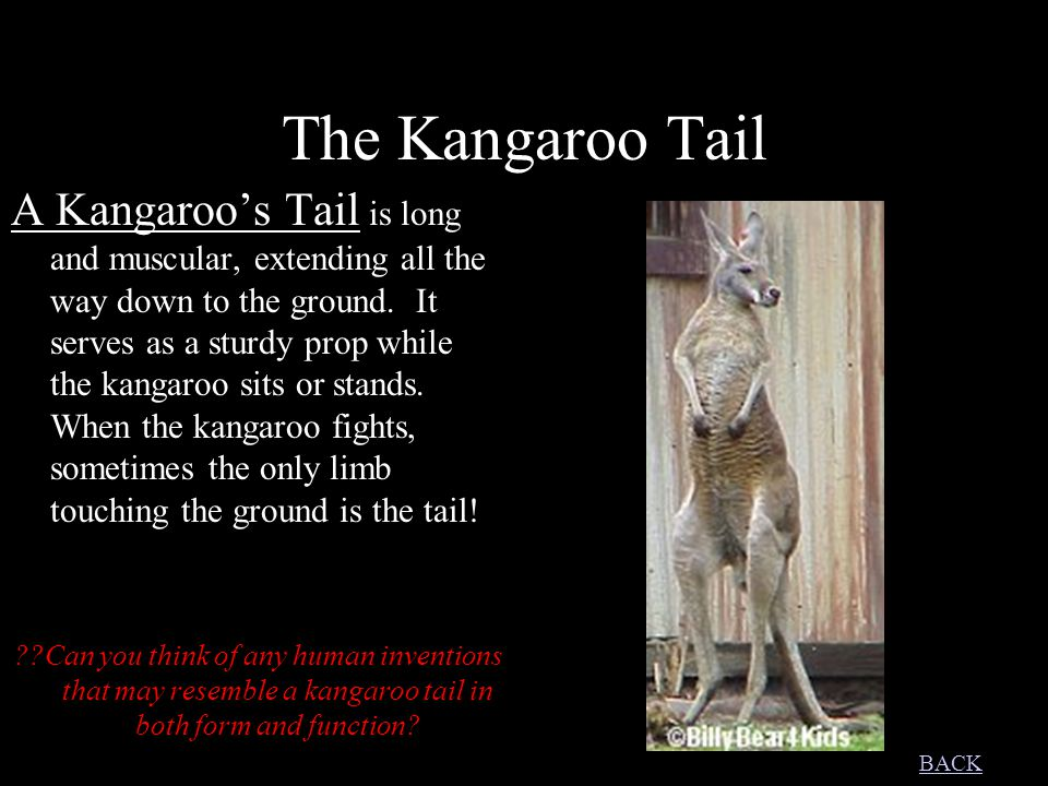 The Kangaroo Tail A Kangaroo's Tail is long and muscular, extending all the way down to the ground.