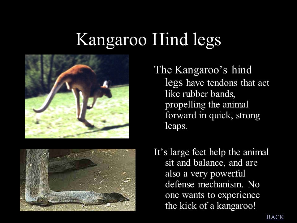 Kangaroo Hind legs The Kangaroo's hind legs have tendons that act like rubber bands, propelling the animal forward in quick, strong leaps. It's large