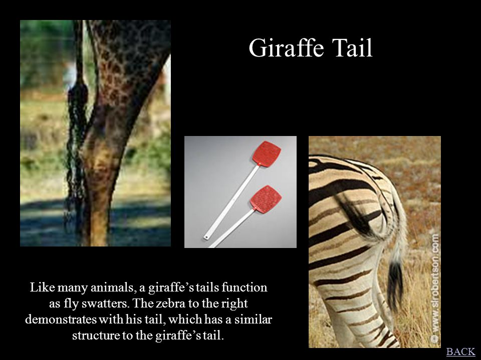 Giraffe Tail Like many animals, a giraffe's tails function as fly swatters. The zebra to the right demonstrates with his tail, which has a similar str