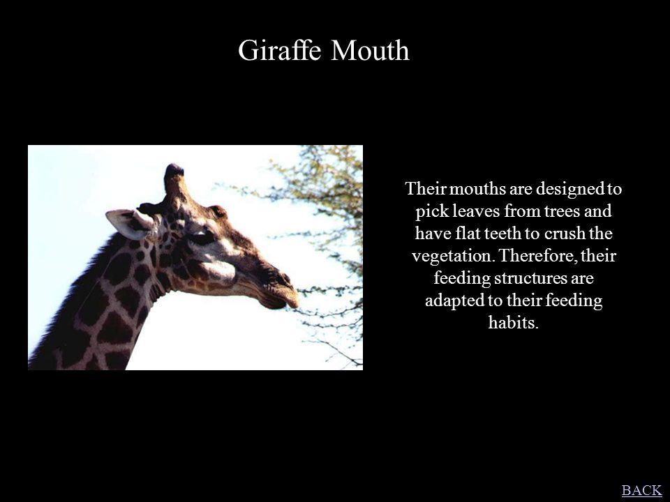 Giraffe Mouth Their mouths are designed to pick leaves from trees and have flat teeth to crush the vegetation. Therefore, their feeding structures are