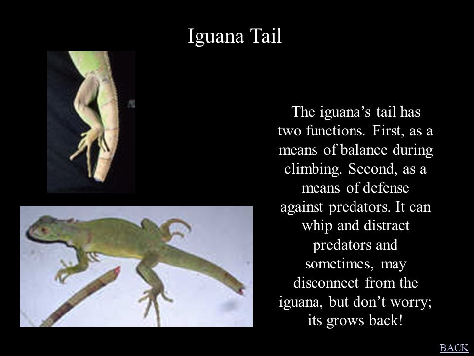 Iguana Tail The iguana's tail has two functions. First, as a means of balance during climbing. Second, as a means of defense against predators. It can
