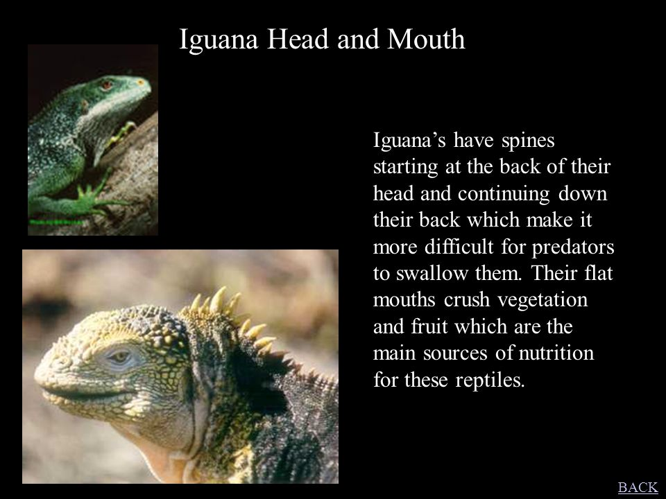 Iguana Head and Mouth Iguana's have spines starting at the back of their head and continuing down their back which make it more difficult for predator