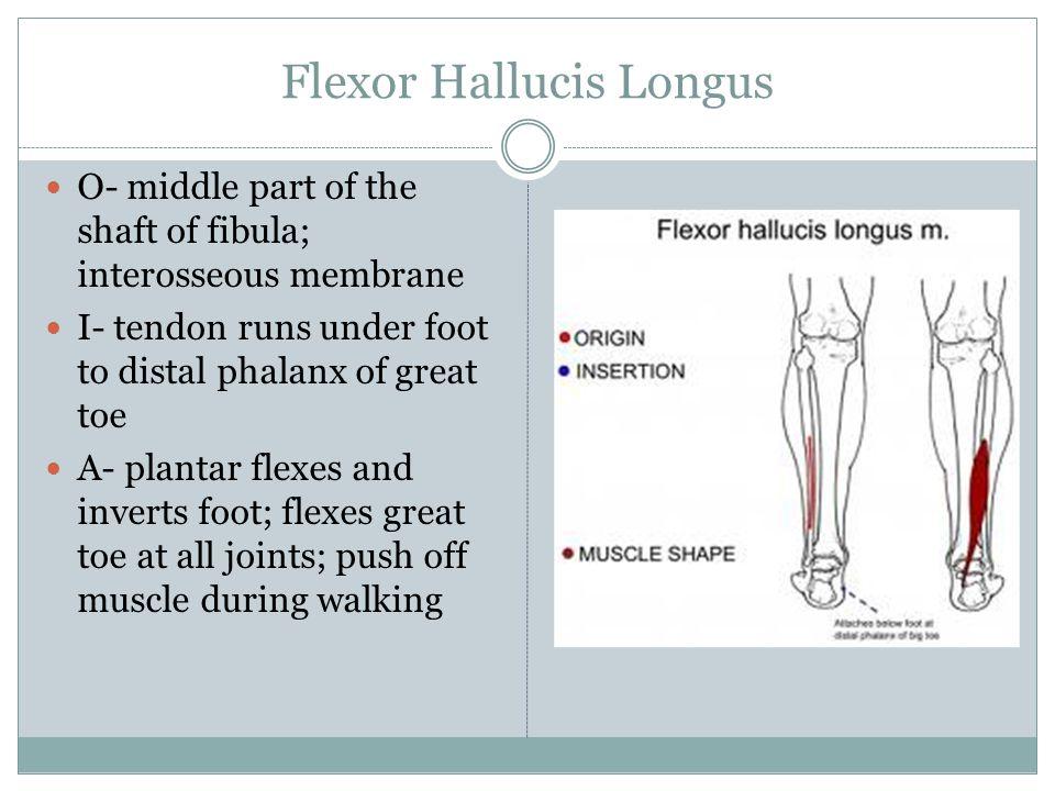 Flexor Hallucis Longus O- middle part of the shaft of fibula; interosseous membrane I- tendon runs under foot to distal phalanx of great toe A- planta