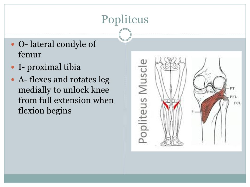 Popliteus O- lateral condyle of femur I- proximal tibia A- flexes and rotates leg medially to unlock knee from full extension when flexion begins