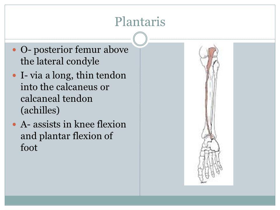 Plantaris O- posterior femur above the lateral condyle I- via a long, thin tendon into the calcaneus or calcaneal tendon (achilles) A- assists in knee