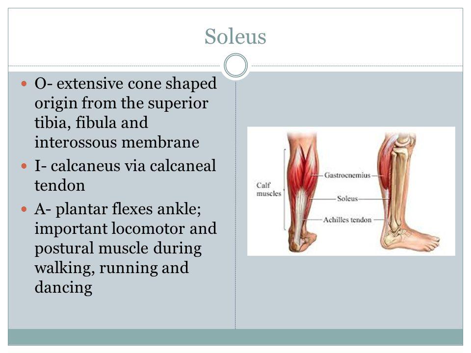 Soleus O- extensive cone shaped origin from the superior tibia, fibula and interossous membrane I- calcaneus via calcaneal tendon A- plantar flexes an