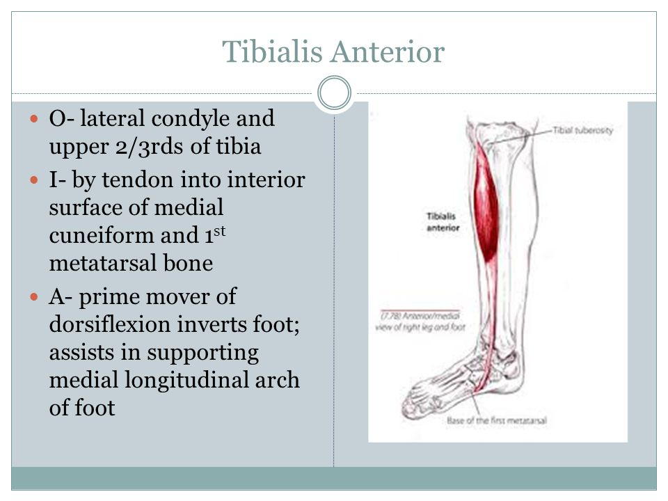 Tibialis Anterior O- lateral condyle and upper 2/3rds of tibia I- by tendon into interior surface of medial cuneiform and 1 st metatarsal bone A- prim