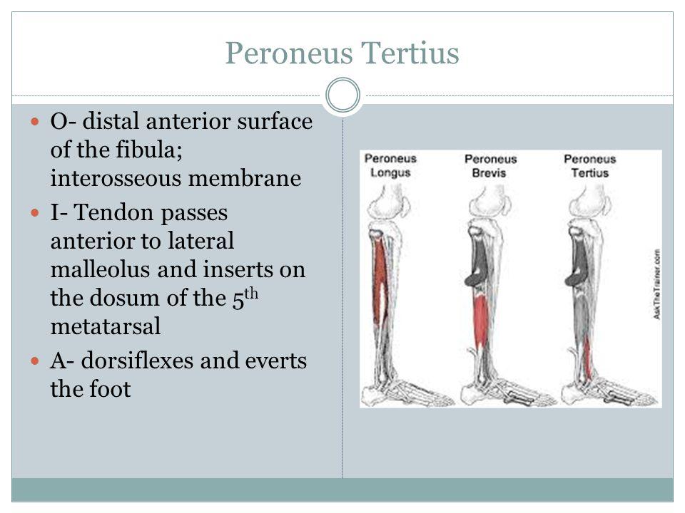 Peroneus Tertius O- distal anterior surface of the fibula; interosseous membrane I- Tendon passes anterior to lateral malleolus and inserts on the dos