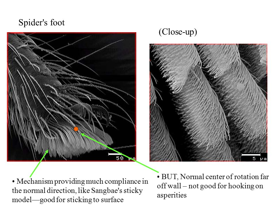 Spider s foot (Close-up) Mechanism providing much compliance in the normal direction, like Sangbae s sticky model—good for sticking to surface BUT, Normal center of rotation far off wall – not good for hooking on asperities