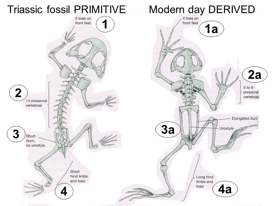 Triassic fossil PRIMITIVEModern day DERIVED 1 1a 2 2a 3 3a 4 4a