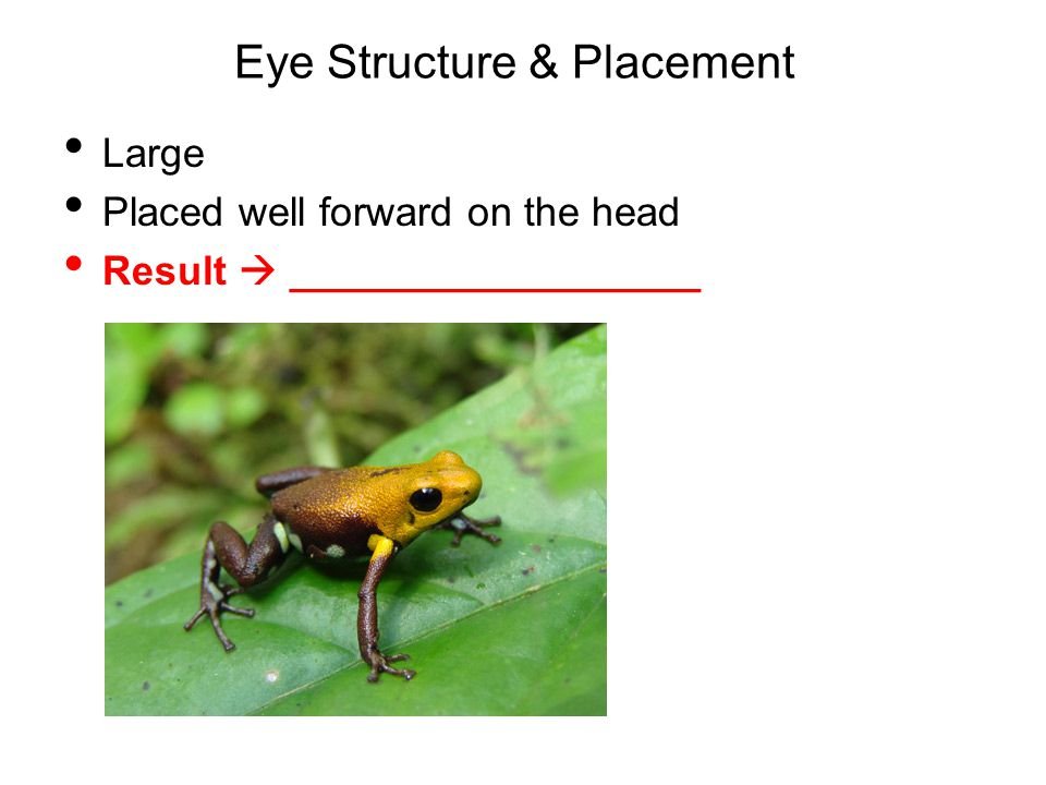 Eye Structure & Placement Large Placed well forward on the head Result  __________________