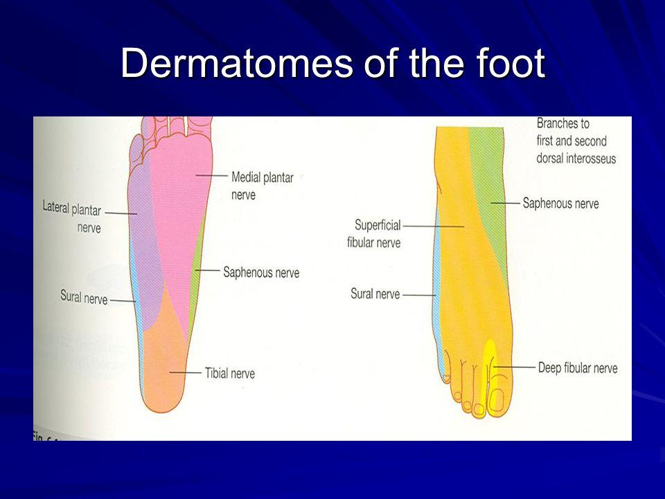 Dermatomes of the foot