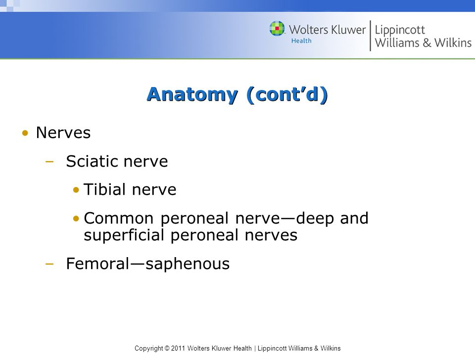 Copyright © 2011 Wolters Kluwer Health   Lippincott Williams & Wilkins Anatomy (cont'd) Nerves –Sciatic nerve Tibial nerve Common peroneal nerve—deep and superficial peroneal nerves –Femoral—saphenous