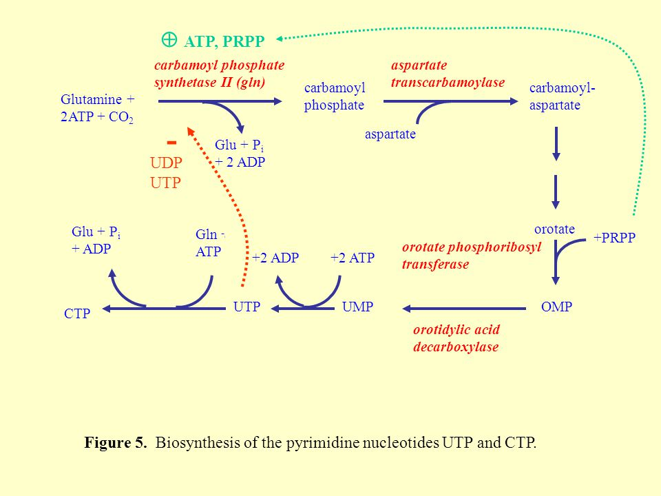 Figure 5. Biosynthesis of the pyrimidine nucleotides UTP and CTP.