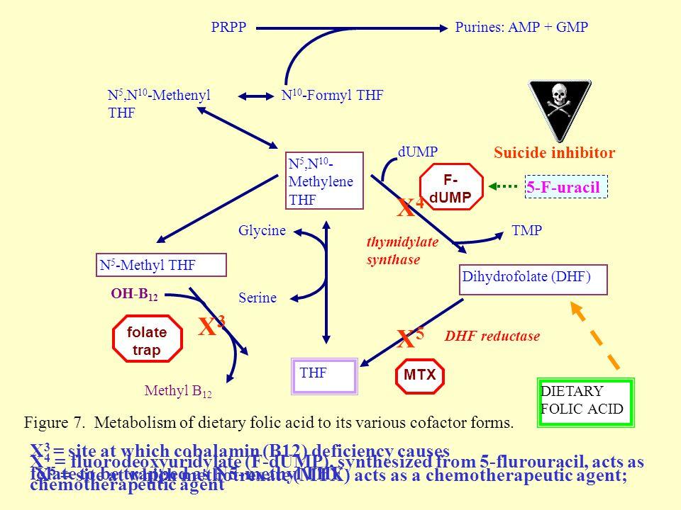 THF N 5 -Methyl THF N 5,N 10 - Methylene THF Glycine Serine N 5,N 10 -Methenyl THF N 10 -Formyl THF PRPPPurines: AMP + GMP DHF reductase dUMP thymidylate synthase TMP DIETARY FOLIC ACID Dihydrofolate (DHF) Methyl B 12 OH-B 12 folate trap X3X3 MTX X5X5 F- dUMP 5-F-uracil X4X4 Figure 7.
