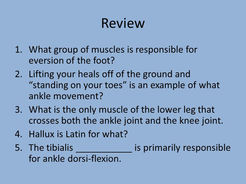 """Review 1.What group of muscles is responsible for eversion of the foot? 2.Lifting your heals off of the ground and """"standing on your toes"""" is an examp"""