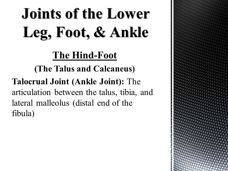 The Hind-Foot (The Talus and Calcaneus) Talocrual Joint (Ankle Joint): The articulation between the talus, tibia, and lateral malleolus (distal end of the fibula)