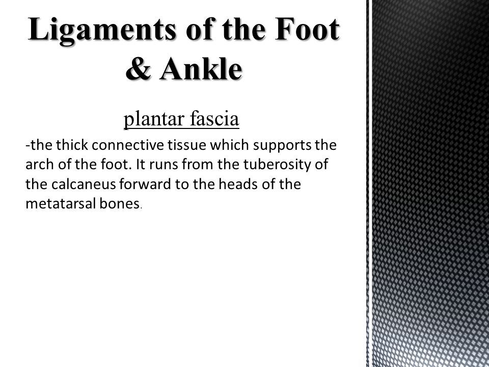 plantar fascia -the thick connective tissue which supports the arch of the foot. It runs from the tuberosity of the calcaneus forward to the heads of