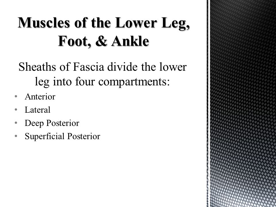 Sheaths of Fascia divide the lower leg into four compartments: Anterior Lateral Deep Posterior Superficial Posterior