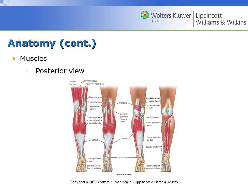 Copyright © 2013 Wolters Kluwer Health | Lippincott Williams & Wilkins Anatomy (cont.) Muscles –Posterior view