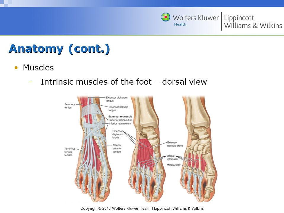 Copyright © 2013 Wolters Kluwer Health | Lippincott Williams & Wilkins Anatomy (cont.) Muscles –Intrinsic muscles of the foot – dorsal view