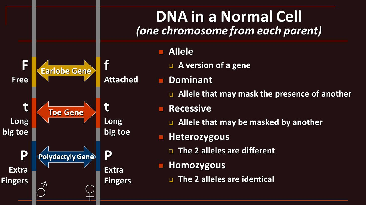 DNA in a Normal Cell (one chromosome from each parent) Allele Allele  A version of a gene Dominant Dominant  Allele that may mask the presence of an