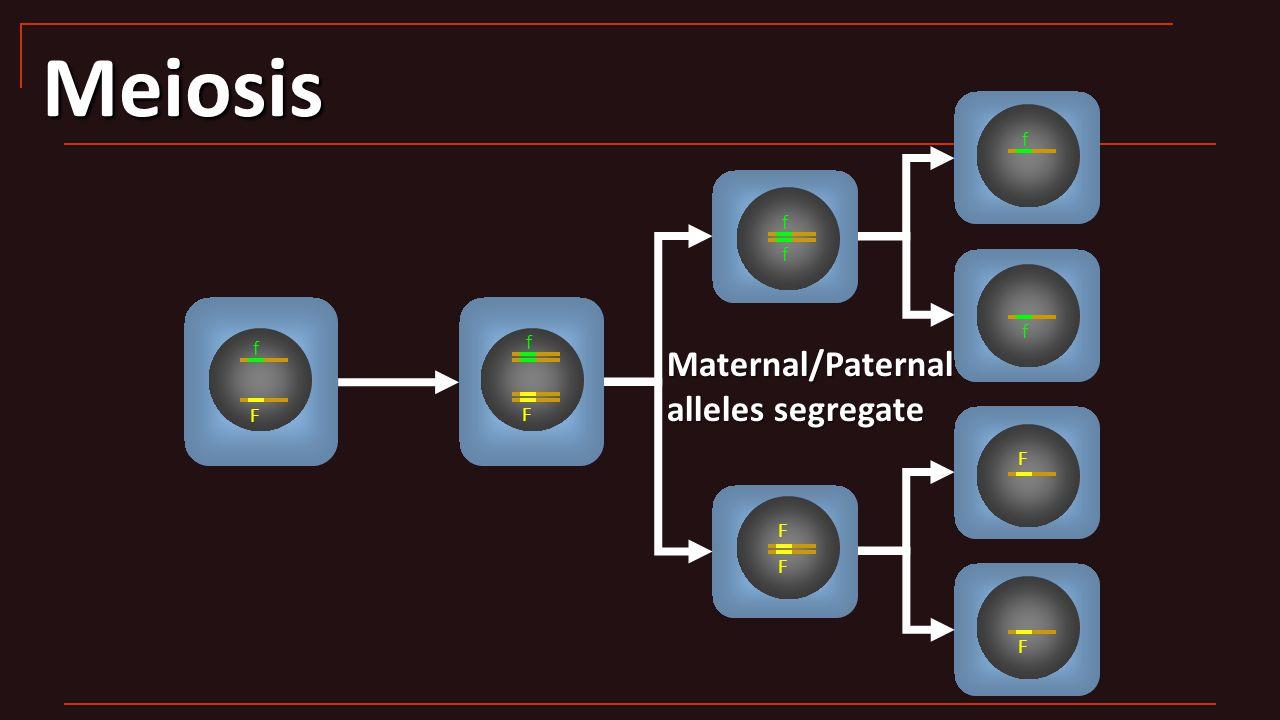 Meiosis F f F f f f F F f f F F Maternal/Paternal alleles segregate