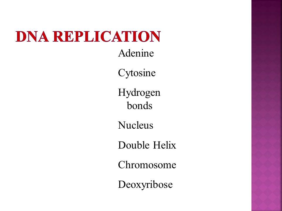 Adenine Cytosine Hydrogen bonds Nucleus Double Helix Chromosome Deoxyribose