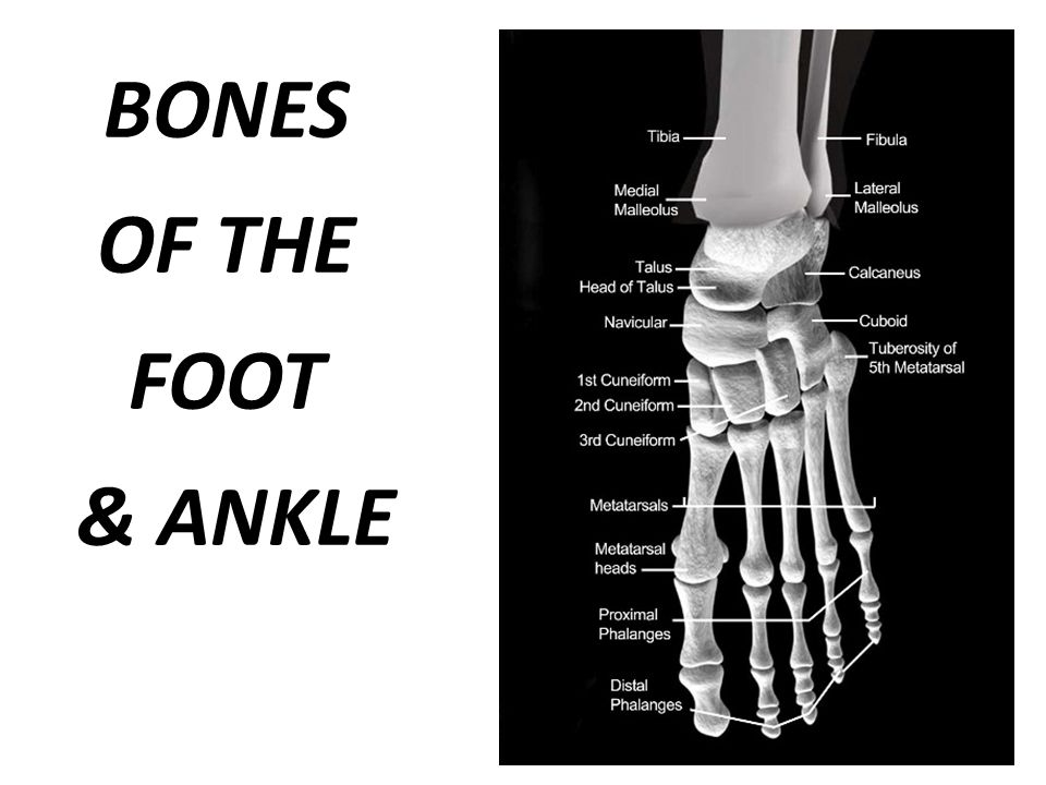 BONES OF THE FOOT & ANKLE
