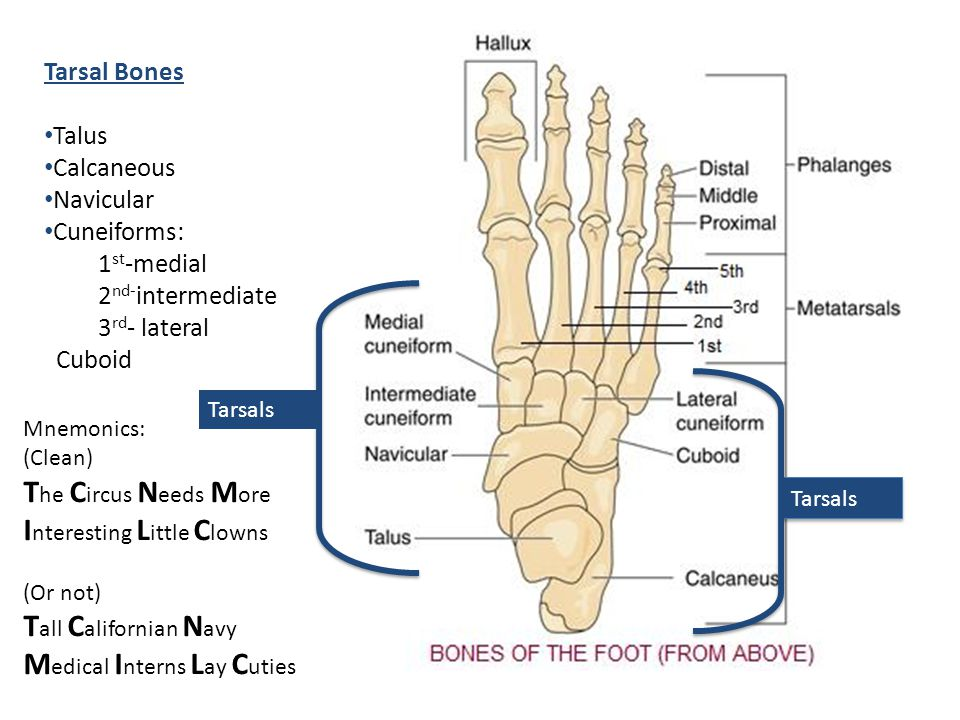 Tarsal Bones Talus Calcaneous Navicular Cuneiforms: 1 st -medial 2 nd- intermediate 3 rd - lateral Cuboid Mnemonics: (Clean) T he C ircus N eeds M ore