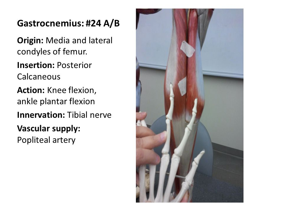 Gastrocnemius: #24 A/B Origin: Media and lateral condyles of femur. Insertion: Posterior Calcaneous Action: Knee flexion, ankle plantar flexion Innerv