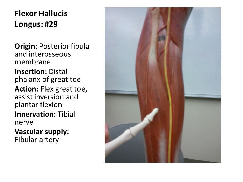 Flexor Hallucis Longus: #29 Origin: Posterior fibula and interosseous membrane Insertion: Distal phalanx of great toe Action: Flex great toe, assist i