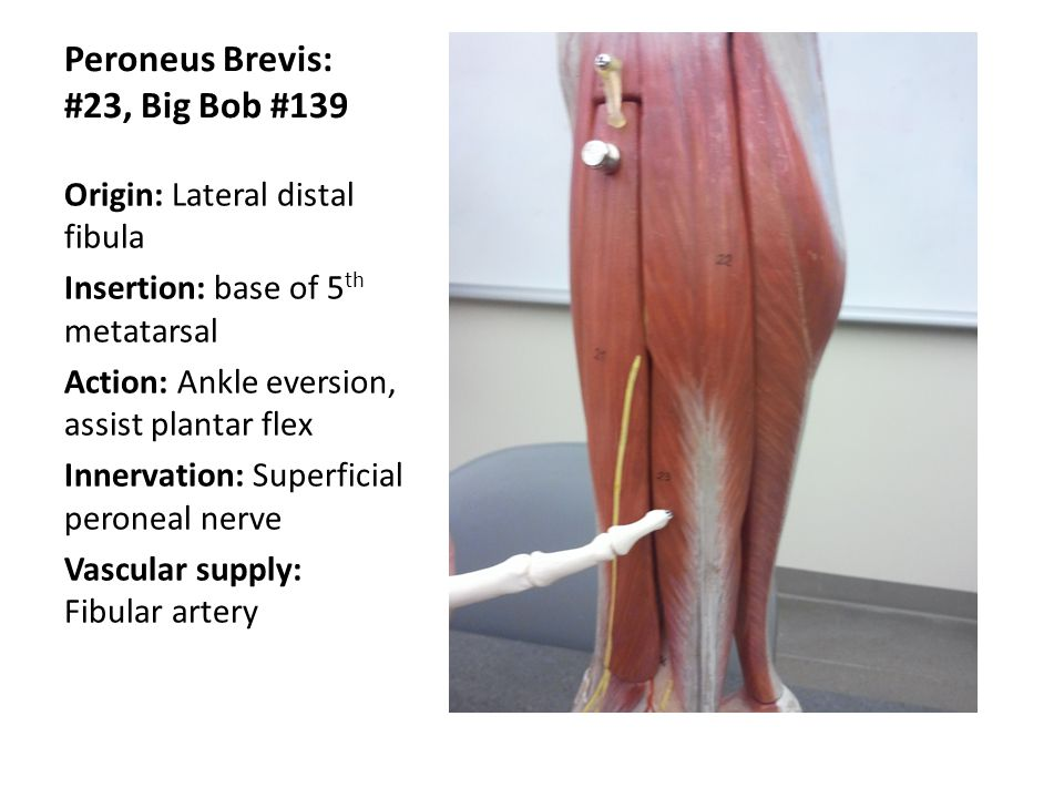 Peroneus Brevis: #23, Big Bob #139 Origin: Lateral distal fibula Insertion: base of 5 th metatarsal Action: Ankle eversion, assist plantar flex Innerv