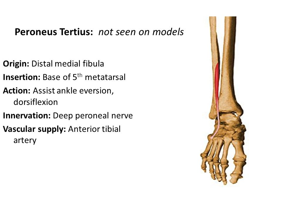 Origin: Distal medial fibula Insertion: Base of 5 th metatarsal Action: Assist ankle eversion, dorsiflexion Innervation: Deep peroneal nerve Vascular supply: Anterior tibial artery Peroneus Tertius: not seen on models