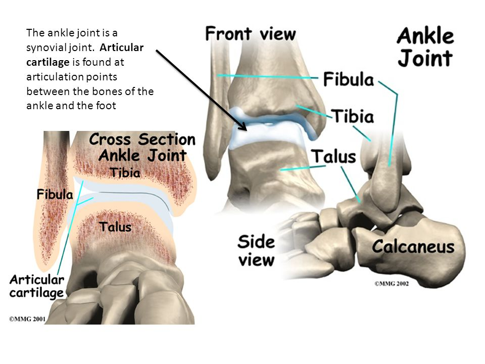 The ankle joint is a synovial joint. Articular cartilage is found at articulation points between the bones of the ankle and the foot