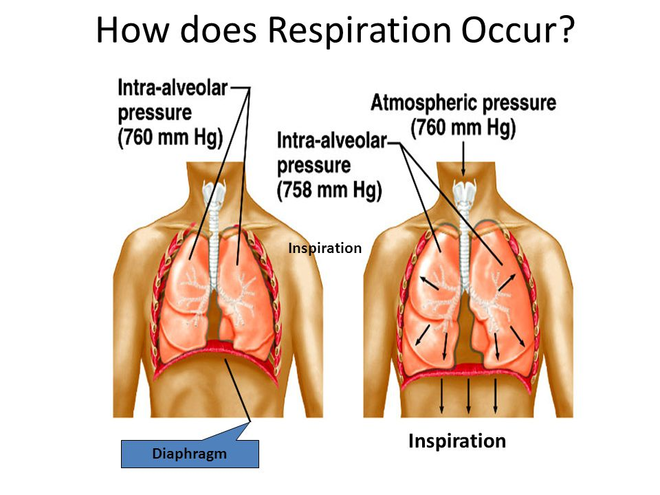How does Respiration Occur? Diaphragm Inspiration