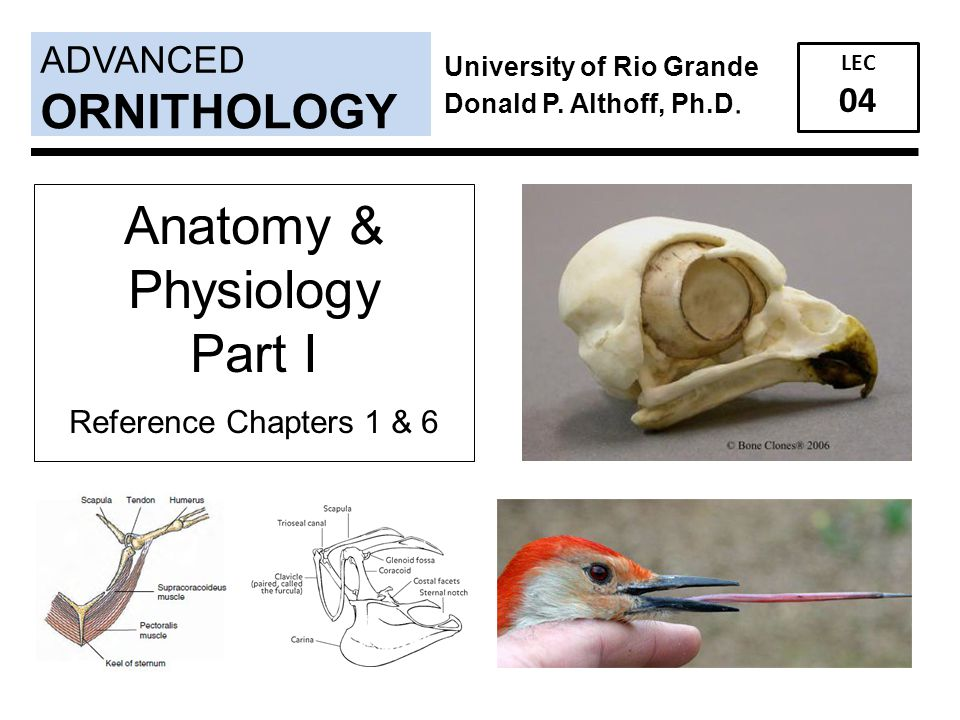 ADVANCED LEC 04 ORNITHOLOGY University of Rio Grande Donald P. Althoff, Ph.D. Anatomy & Physiology Part I Reference Chapters 1 & 6