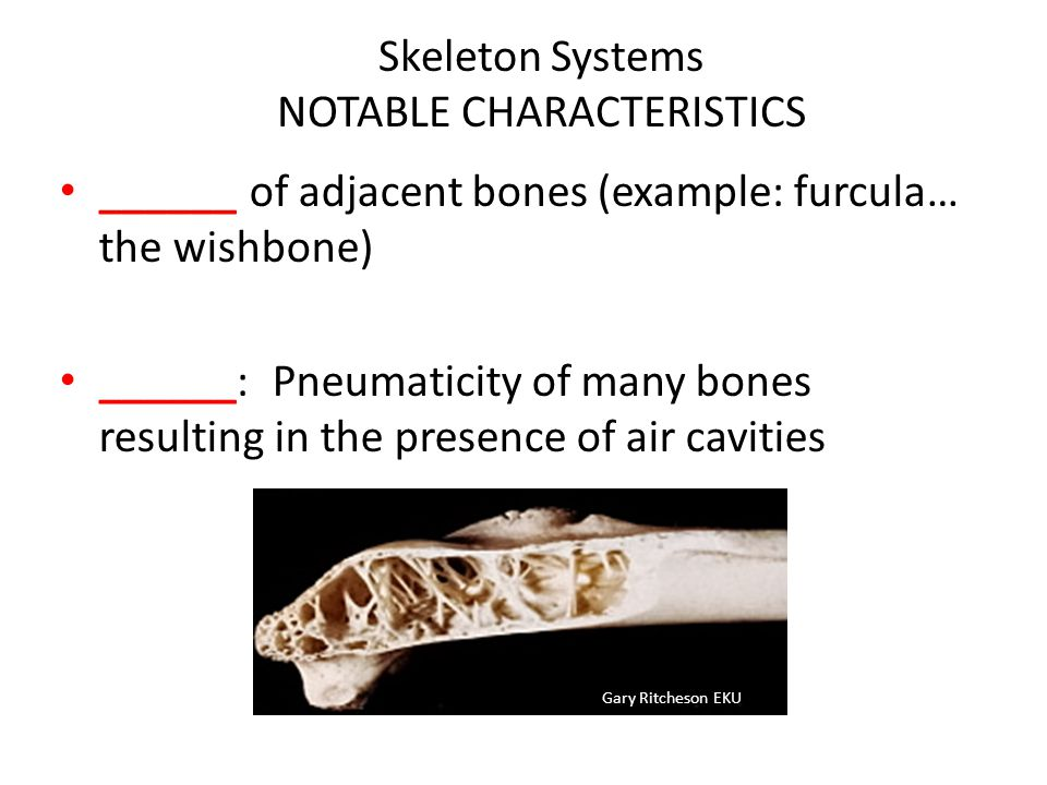 Skeleton Systems NOTABLE CHARACTERISTICS ______ of adjacent bones (example: furcula… the wishbone) ______: Pneumaticity of many bones resulting in the presence of air cavities Gary Ritcheson EKU