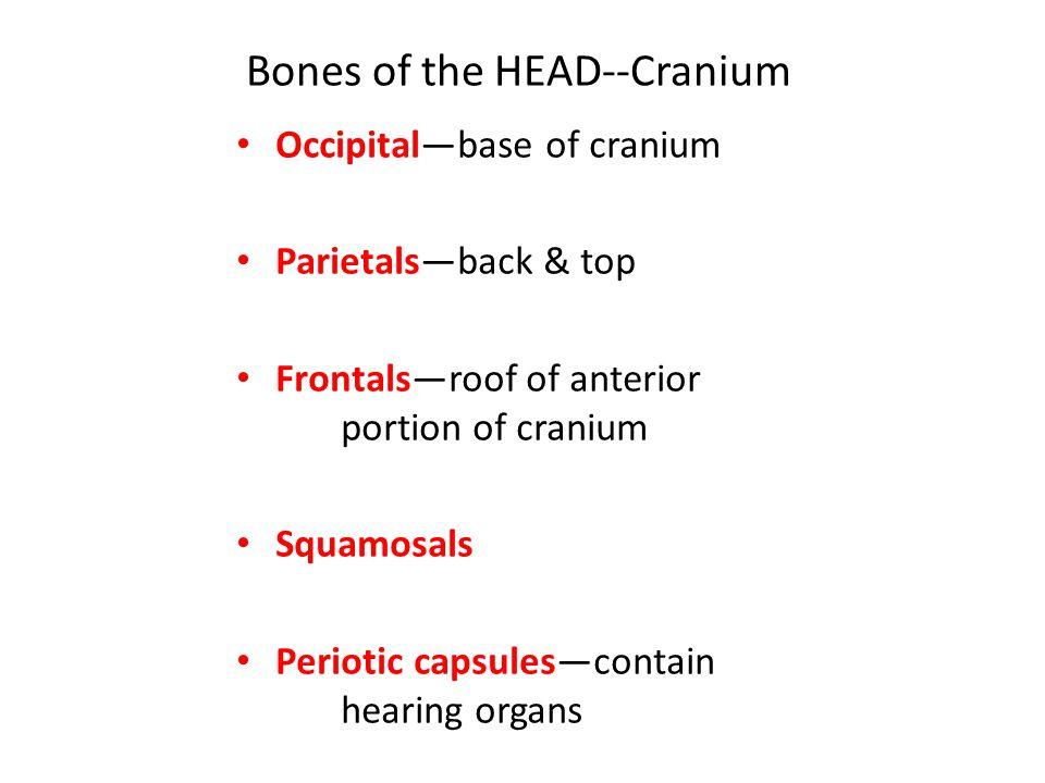 Occipital—base of cranium Parietals—back & top Frontals—roof of anterior portion of cranium Squamosals Periotic capsules—contain hearing organs Bones