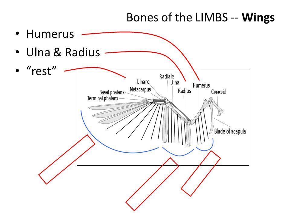 "Bones of the LIMBS -- Wings Humerus Ulna & Radius ""rest"""